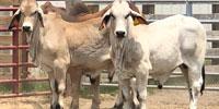 2 Reg. Brahman Bulls... Central GA