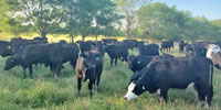 50 Angus & Brangus Bred Heifers... E Central MS~PI-N