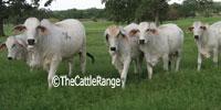 12 Reg. Brahman Rep. Heifers... S. Central TX (1)
