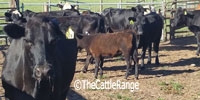 40 Angus/Brangus Cows... Northern FL