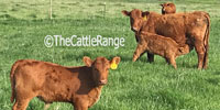 70 Red Angus 1st-Calf Pairs... E. Central SD
