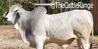 1 Reg. Brahman Bull... Southeast TX