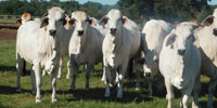 65 Purebred Brahman Bred Heifers... S. Central TX