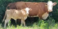16 Reg. Polled Hereford Cows w/ 5+ Calves... North TX
