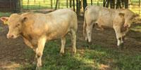 20 Reg. Charolais Bulls... Northeast TX (1)