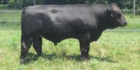 1 Reg. Braunvieh Bull... Northeast AL (1)