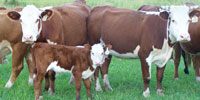 26 Reg. Hereford 2nd-Calf Pairs... Central AR