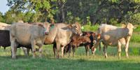 11 Charbray 2nd-Calf Pairs... Central TX
