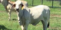 20 Reg. Brahman Rep. Heifers... Southeast TX