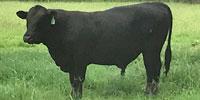 1 Reg. Angus Bull... S. Central LA