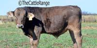 15 Reg. Braunvieh Bulls... TX Panhandle