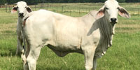 20 Reg. Brahman Rep. Heifers... North TX (1)
