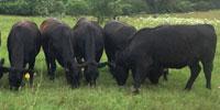 10 Reg. Angus Bred Heifers... East TX