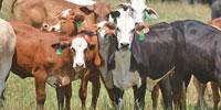 45 Braford/Tigerstripe Bred Heifers... Northwest GA