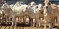7 Brahman Rep. Heifers... S. Central KS
