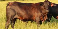 9 F1 Brangus Rep. Heifers... East TX
