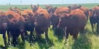 300 Red Angus Bred Heifers... N. Central SD ~ FD