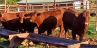 6 Santa Gertrudis Rep. Heifers... Southwest MO
