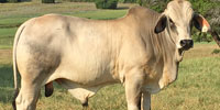 10 Reg. Brahman Bulls... N. Central TX