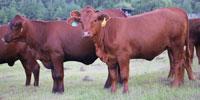 5 Reg. Santa Gertrudis Rep. Heifers... East TX