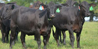 54 Brangus & Brangus Cross Bred Heifers... Northwest GA