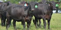 54 Brangus & Brangus Cross Bred Heifers... Northwest GA