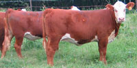 10 Reg. Polled Hereford Rep. Heifers... N. Central LA