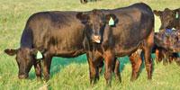 20 Angus 1st-Calf Pairs... Central TX