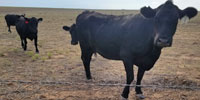 24 Angus/Brangus Cows... E. Central NM