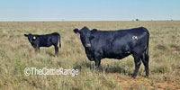 20 Angus 2nd-Calf Cows... E. Central NM