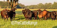 100 F1 Brangus Cows... Northern FL