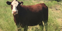 27 Hereford/Red Angus Bred Heifers... W. Central TX