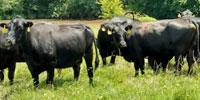 40 Angus & BWF Cows... Southwest MO (34)