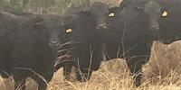 9 Reg. Brangus Bred Heifers... W. Central TX