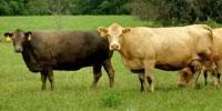 30 Charolais Cross Cows... Southwest MO (1)