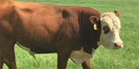 1 Reg. Polled Hereford Bull... North TX