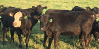 28 Angus & BWF Rep Heifers... North TX