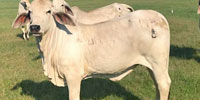 10 Reg. Brahman Rep. Heifers... North TX
