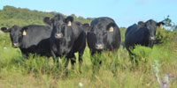 42 Angus Bred Heifers... North TX ~ PI-N