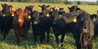 35 Angus & BWF Open Cows... Southwest MO