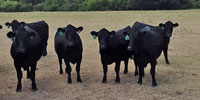 65 Angus Bred Heifers... W. Central OK ~ FD