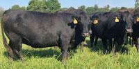 40 Angus & BWF Cows... Southwest MO (36)