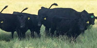 6 Reg. Angus Rep. Heifers... East TX