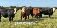 37 F1 Angus/Hereford Bred Heifers... N. Central TX