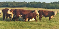 4 Reg. Polled Hereford Pairs... N. Central TX