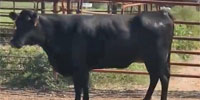 45 Angus 2nd-Calf Cows... Southwest MO