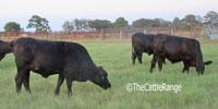 30 Brangus Bred Heifers... East TX