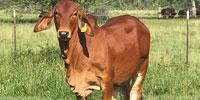 1 Reg. Red Brahman Bull... Southeast TX