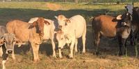 48 Brahman Cross Bred Heifers... Southeast AL