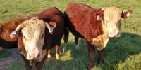 10 Reg. Hereford Bulls... Central TN